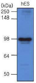 Western blot - GRP94 antibody [2H3] (ab63469)