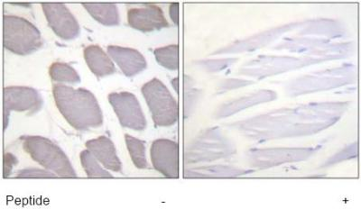 Immunohistochemistry (Formalin/PFA-fixed paraffin-embedded sections) - AMPK beta 1 antibody (ab63533)