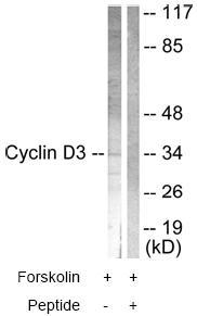 Western blot - Cyclin D3 antibody (ab63535)