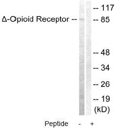 Western blot - Delta Opioid Receptor antibody (ab63536)