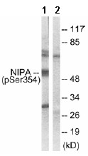 Western blot - NIPA (phospho S354) antibody (ab63557)