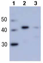 Western blot - RecA antibody (ab63797)
