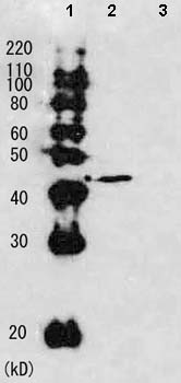 Western blot - Rad51 antibody (ab63799)