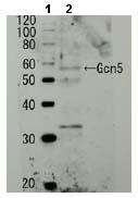 Western blot - GCN5p antibody (ab63810)
