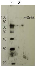 Western blot - SRB4 antibody (ab63812)