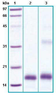 SDS-PAGE - PLA2G1B protein (His tag) (ab63842)