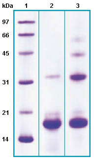 SDS-PAGE - Phospholipase A2 IIA protein (His tag) (ab63843)