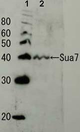 Western blot - Sua7p antibody (ab63909)