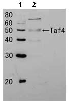 Western blot - Taf4 antibody (ab63910)