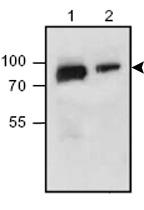 Western blot - Nectin 3 antibody (ab63931)