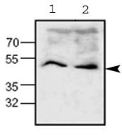Western blot - Wnt1 antibody (ab63934)