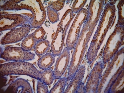 Immunohistochemistry (Formalin/PFA-fixed paraffin-embedded sections) - Lactate Dehydrogenase C antibody (ab63966)
