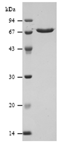 SDS-PAGE - Streptolysin protein (ab63978)