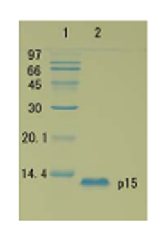SDS-PAGE - HIV1 p15 protein (ab63994)
