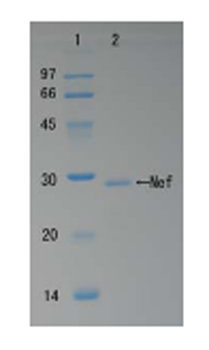 SDS-PAGE - HIV1 Nef protein (ab63996)