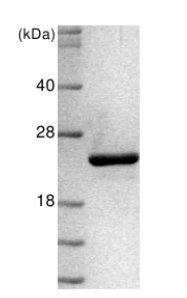 SDS-PAGE - Anterior Gradient 2 protein (His tag) (ab64013)
