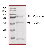 SDS-PAGE - CDK1 + Cyclin A2 protein (Tagged) (ab64299)