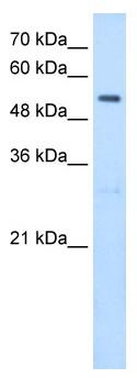 Western blot - SHMT2 antibody (ab64417)
