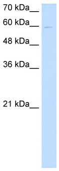 Western blot - nephronectin antibody (ab64419)