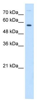 Western blot - BTN1A1 antibody (ab64421)