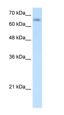 Western blot - SLC39A12 antibody (ab64463)