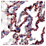 Immunohistochemistry (Formalin/PFA-fixed paraffin-embedded sections) - Anti-Caveolin-1 antibody (ab64481)