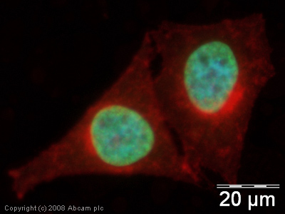 Immunocytochemistry/ Immunofluorescence - Histone H3 antibody [mAbcam 1220] (FITC) (ab64491)
