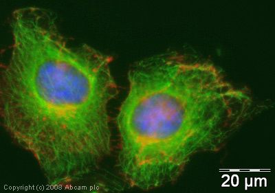 Immunocytochemistry/ Immunofluorescence - alpha Tubulin antibody [DM1A] (FITC) (ab64503)