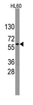 Western blot - Nucleostemin antibody (ab64788)