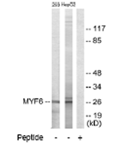 Western blot - MYF6 antibody (ab64802)