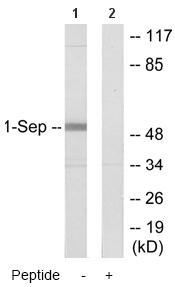 Western blot - SEPT1 antibody (ab64846)