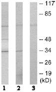 Western blot - APE1 antibody (ab64865)
