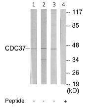 Western blot - Cdc37 antibody (ab64879)
