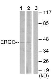 Western blot - ERGI3 antibody (ab64902)