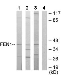 Western blot - FEN1 antibody (ab64908)