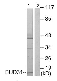 Western blot - BUD31 antibody (ab64910)