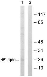 Western blot - HP1 alpha antibody (ab64916)