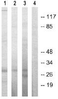 Western blot - Securin antibody (ab64930)