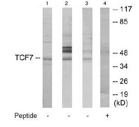 Western blot - TCF7 antibody (ab64947)