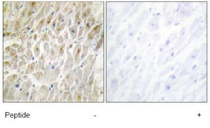 Immunohistochemistry (Formalin/PFA-fixed paraffin-embedded sections) - DLX3 antibody (ab64953)