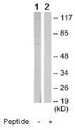Western blot - ASC1 antibody (ab64966)