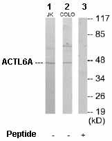 Western blot - BAF53A antibody (ab64989)