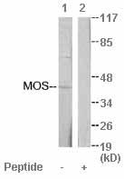 Western blot - MOS antibody (ab64990)