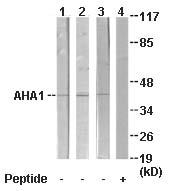 Western blot - AHA1 antibody (ab64998)