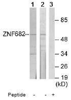 Western blot - Zinc finger protein 682 antibody (ab65002)