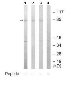 Western blot - TOP3B antibody (ab65005)
