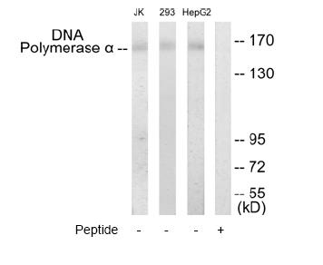 Western blot - DNA polymerase alpha antibody (ab65009)