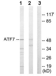 Western blot - ATF7 antibody (ab65064)
