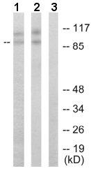 Western blot - CDC2L1 antibody (ab65073)