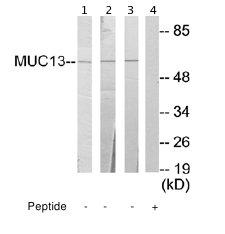 Western blot - MUC13 antibody (ab65109)